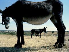 The third donkey