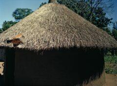Strange chicken and hut